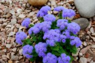 Ageratum Blue Mink 200 Seeds - Long blooming,